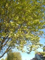 Adanac and Nanaimo tree