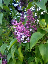 First lilacs of spring outside Templeton School